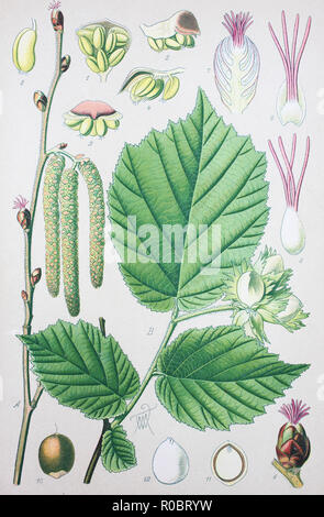 Digital improved high quality reproduction: Corylus avellana, the common hazel, is a species of hazel - Stock Photo