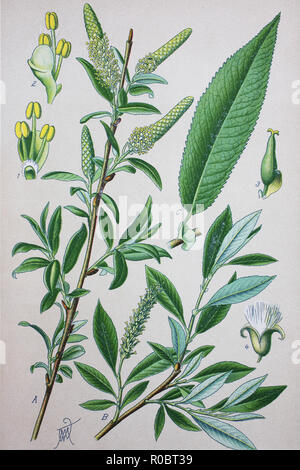 Digital improved high quality reproduction: Salix amygdaloides, the peachleaf willow, is a species of willow - Stock Photo