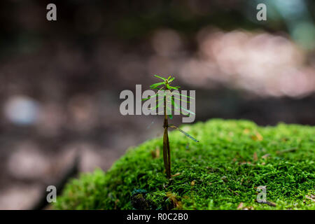 Small spruce germ growing from the moss on the old stump - Stock Photo