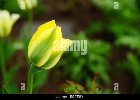 Yellow Tulipan - Stock Photo