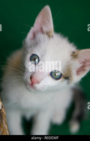 Little white cat with blue eyes sitting on the green carpet - Stock Photo