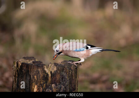 Eurasian Jay Garrulus glandarius in close up profile perching on an old tree stump and eating peanuts - Stock Photo