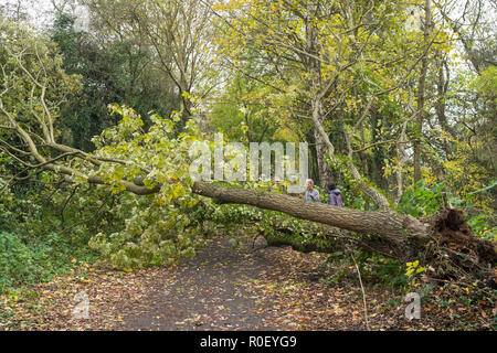 Wylam, UK. 4th November 2018. A result of Storm Oscar. A tree blown down overnight on the ex railway cycle path heading west from Wylam, Northumberland, England (c) Washington Imaging/Alamy Live News - Stock Photo