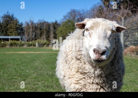 e A white woolly ram with a strong character and personality - Stock Photo