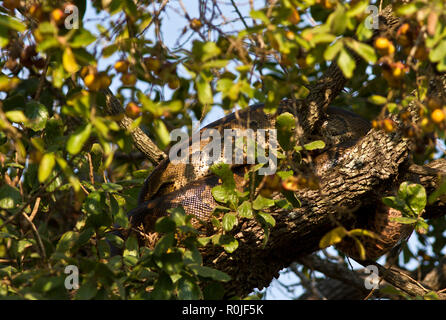 A Rock Python resting in the branches of a diospyros bush after having had a good meal and can spend weeks digesting the meal and conserving energy - Stock Photo
