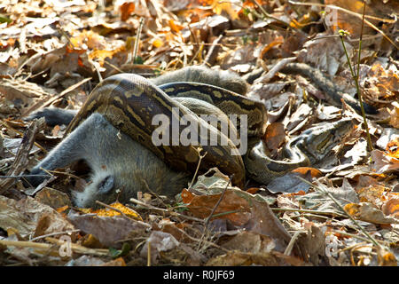 A Rock Python with its prey it has killed by constriction. Its crytpic colouration help conceal itself in the leaf litter - Stock Photo