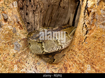 A Rock Python resting in the bole of a sycamore fig after having had a good meal and can spend weeks dogesting the meal and conserving energy - Stock Photo