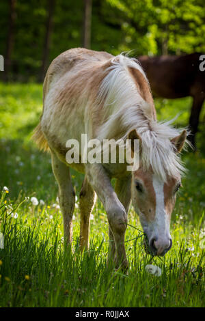 Adorable chestnut halfing foal grazing on the green meadow in the forest - Stock Photo