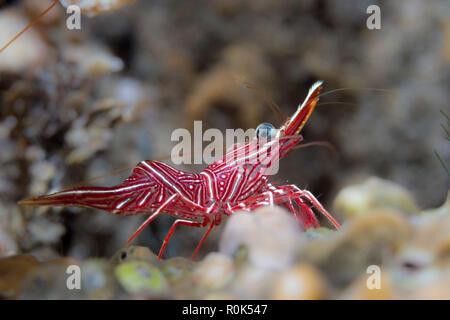 Side portrait of hinge-beak shrimp, Anilao, Philippines. - Stock Photo