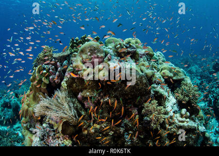 Colorful anthias fish swim above a beautiful reef in the Banda Sea. - Stock Photo
