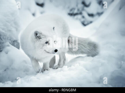 Winter landscape with one adult white polar fox or alopex lagopus in Finnish Lapland on real snow background. White animal is full of attention and li - Stock Photo
