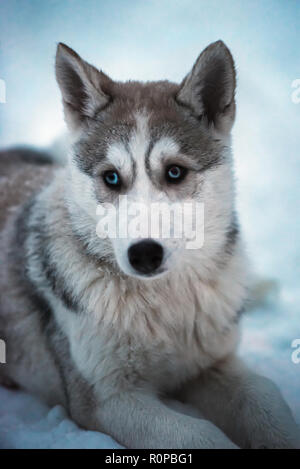 Portrait of beautiful furry young brown and white Siberian husky sled dog with bright blue eyes lying on real snow.  Grown outdoors in Finnish Lapland - Stock Photo