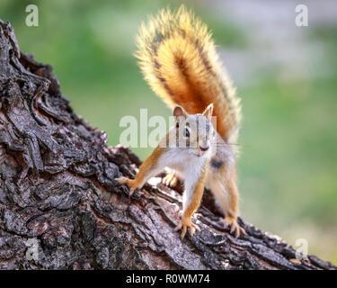 American Red Squirrel, on a tree, Tamiasciurus hudsonicus, Manitoba, Canada. - Stock Photo