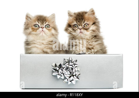 Persian kittens sitting in a silver present box, 10 weeks old, isolated on white - Stock Photo