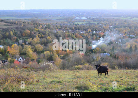 Dexter cattle grazing. Autumn (November) 2018 views of the Darent Valley and Sevenoaks from Fackenden Down, a hillside SSSI near Shoreham and Otford - Stock Photo