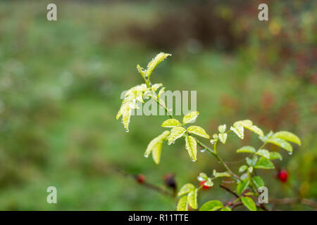 Rosa canina, Dog-rose, leaves with dew-drops, water drops, closeup in autumn, Dorset, UK - Stock Photo
