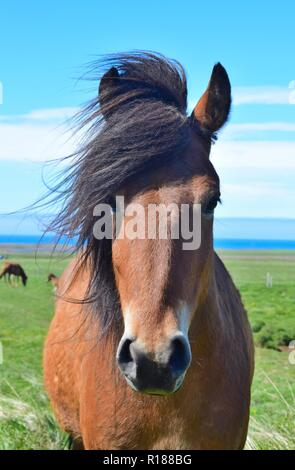 Portrait of a cute Icelandic horse. Bay. Icelandic landscape in the background. - Stock Photo