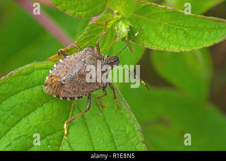 Worldwide pest brown marmorated stink bug Halyomorpha halys (adult) - Stock Photo