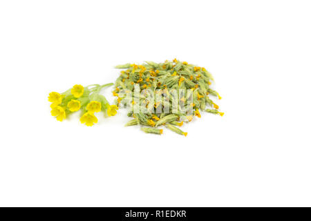 Pile of dried cowslips and fresh one. Primula veris (cowslip, common cowslip, cowslip primrose; syn. Primula officinalis Hill. Alternative medicine co - Stock Photo