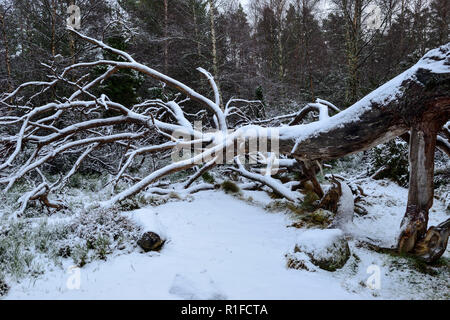 Fallen tree covered in snow on forest walk in winter snow, Rothiemurchus Estate, near Aviemore, Highland Region, Scotland - Stock Photo
