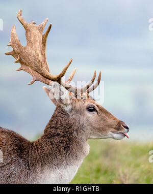 Mature fallow Deer stag sticking out his tongue - herd of Dyrham Park Gloucestershire UK - Stock Photo