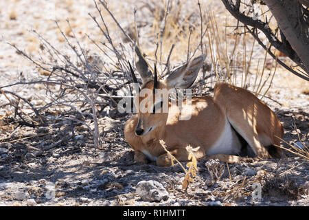 Steenbok, Raphicerus campestris, small antelope, adult male sitting in the shade, Etosha national park, Namibia Africa - Stock Photo