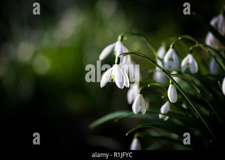 Snowdrops in the springtime with dark background, Cornwall, UK - Stock Photo