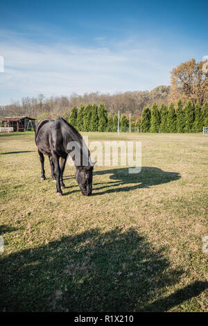 Black horse on green field in a sunny day - Stock Photo