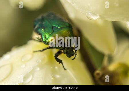 Green beetle on the flower - Stock Photo