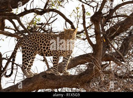 Leopard - Panthera Pardus - adult male leopard climbing a tree, Okonjima, Namibia Africa - Stock Photo
