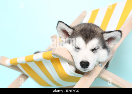 Alaskan Malamute. Puppy (6 weeks old) sleeping in a deck chair. Studio picture. Germany - Stock Photo