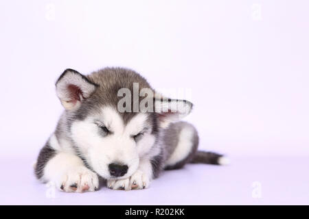 Alaskan Malamute. Puppy (6 weeks old) sleeping. Studio picture, seen against a purple background. Germany - Stock Photo