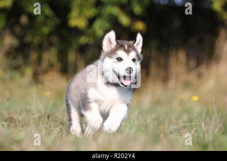 Alaskan Malamute. Puppy (6 weeks old) running on a meadow. Germany - Stock Photo