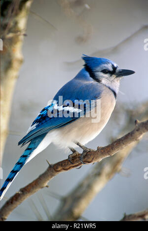 Blue jay, cyanocitta cristatta, perches on a tree branch in winter, quiet and cold in the snow, Midwest USA - Stock Photo