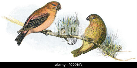 1898 colour engraving of a male and female red or common crossbill (loxia curvirostra). - Stock Photo