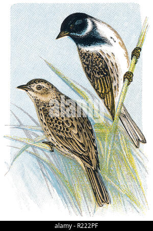 1898 colour engraving of male and female common reed buntings (emberiza schoeniclus). - Stock Photo