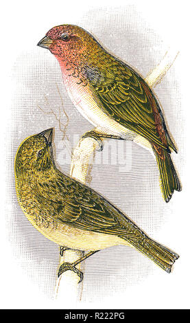 1898 colour engraving of male and female common rosefinches (Carpodacus erythrinus). - Stock Photo