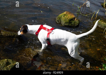 White dog playing in water of Dutch river Meuse - Stock Photo