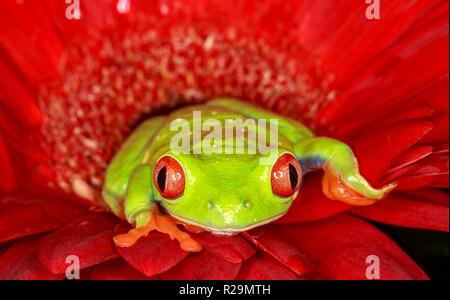 Red-eyed tree frog (Agalychnis callidryas) - Stock Photo