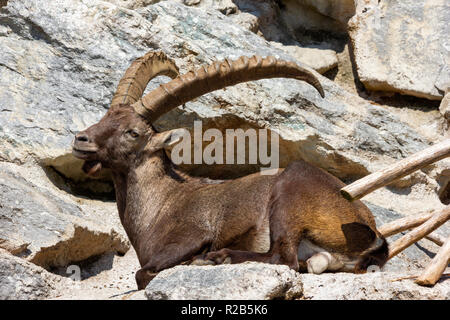 Alpine Ibex basking in sunlight on rocky hills - Stock Photo
