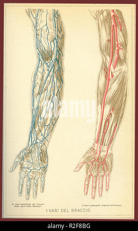 Vintage color table of anatomy, arm blood vessels and blood circulation, Italian anatomical descriptions - Stock Photo