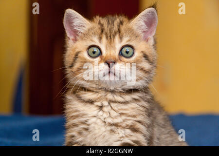 Funny British kitten looks in surprise at the camera, a portrait of a British kitten close-up - Stock Photo