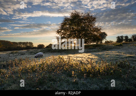 Sheep grazing in frosty field at sunrise with backlit tree and nettles, Chipping Campden, Cotswolds, Gloucestershire, England, United Kingdom, Europe - Stock Photo