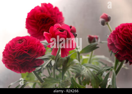 Red ranunculus in the window - Stock Photo