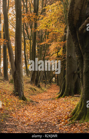 Beech tree lined footpath near Cheesefoot Head in the South Downs National Park, Hampshire, UK, part of the south downs way, a national walking trail - Stock Photo