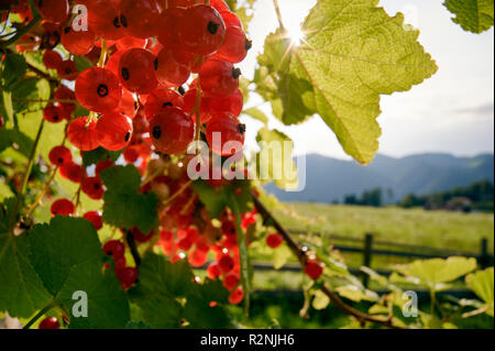 Redcurrants in backlight in front of garden fence and mountain landscape - Stock Photo