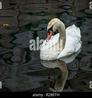 Swan, spree, beautiful - Stock Photo