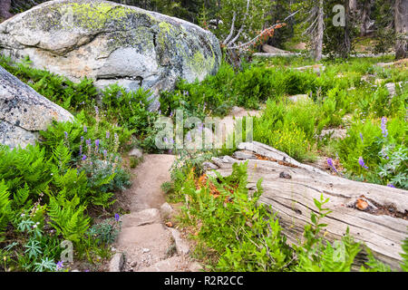 Beautiful hiking trail lined up with green ferns and silver lupine wildflowers, Yosemite National Park, Sierra Nevada mountains, California - Stock Photo
