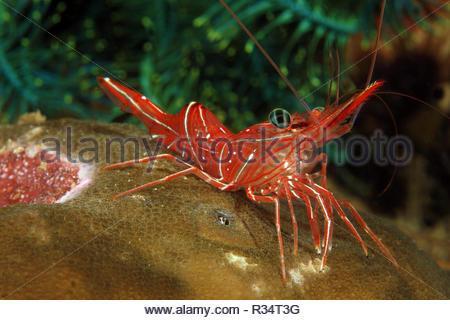 Durban Hinge-beak shrimp or Pepermint hingeback shrimp (Rhynchocinetes durbanensis), Sabang Beach, Mindoro, Philippines - Stock Photo