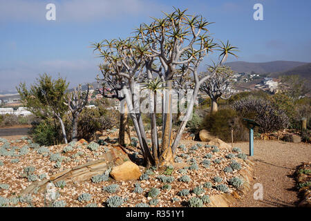 Quiver trees (Aloidendron dichotomum) in the Karoo Desert National Botanical Garden in Worcesterin the Western Cape Province of South Africa. - Stock Photo